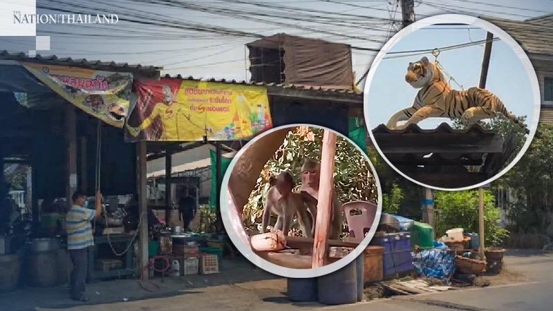 Winkeleigenaar in Sri Racha jaagt rovende apen weg met een brullende tijgergeluiden