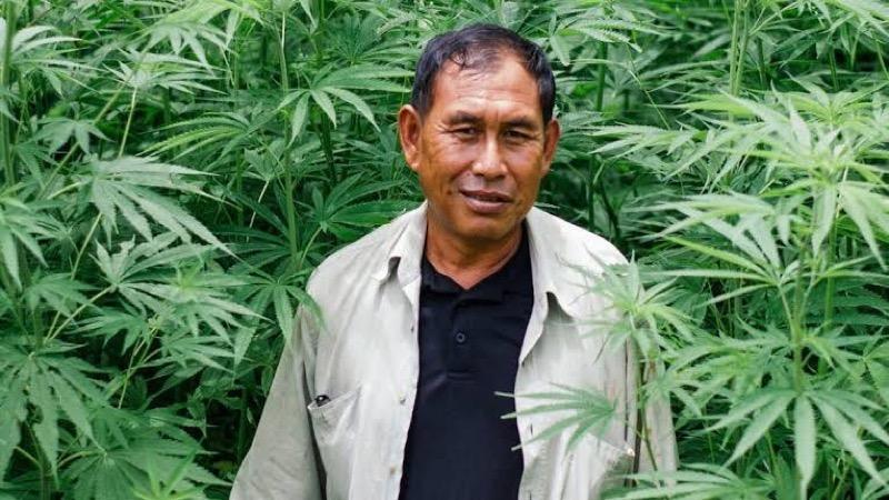 Hennep zal het belangrijkste gewas voor de boeren in Thailand gaan worden