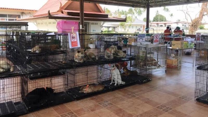 De stichting Soi Dog Koh Samui steriliseert zwerfdieren aan de lopende band