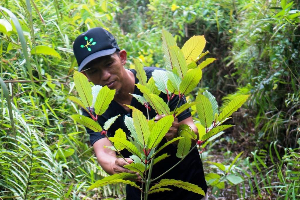 Thaise senaat keurt wetsvoorstel goed om kratom van de lijst met verdovende middelen te verwijderen