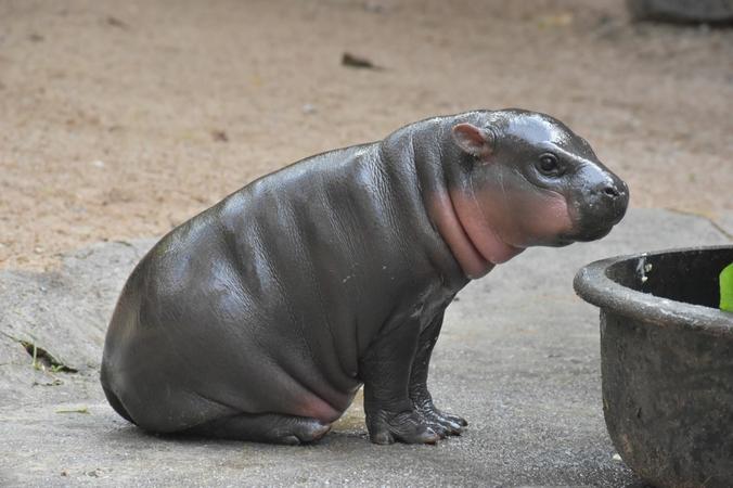 Een pasgeboren dwergnijlpaard laat zich aan het publiek van de Khao Kheow Open Zoo in Chonburi zien