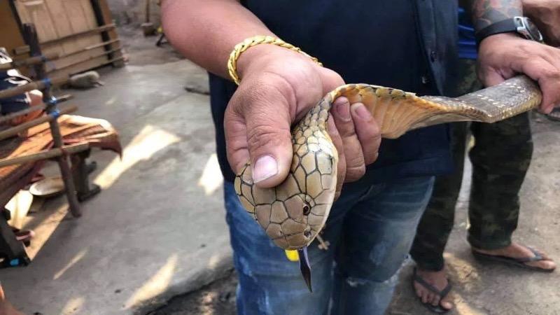 Jong meisje veilig na het aantreffen van een koningscobra in haar huis in Ban Bueang