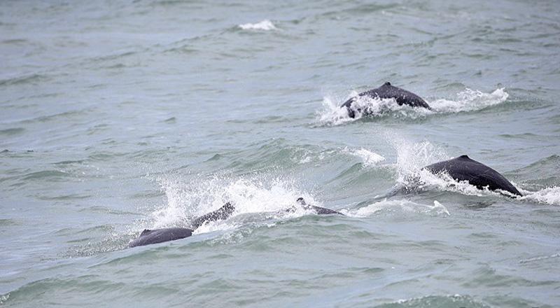 Dolfijnen spotten in Chachaoengsao: nu is de tijd!