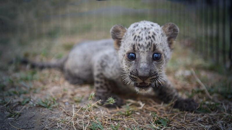 Undercover operatie nodig om een jong luipaard kitten uit de klauwen van een Indiase handelaar uit Bangkok te redden