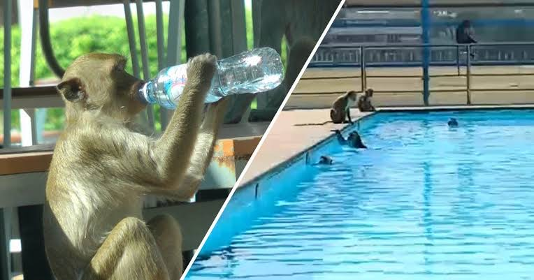 Grote groep apen gaan los in Het zwembad van Thaise school over