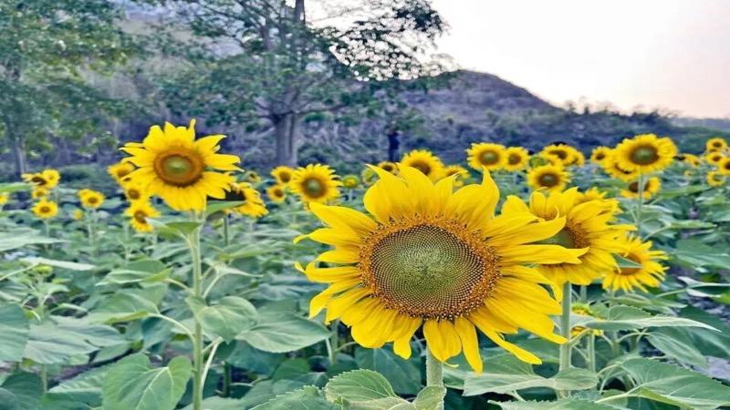 VIDEO | De bloeiende zonnebloemen in de buurt van Pattaya genieten een grote aantrekkingskracht van bezoekers