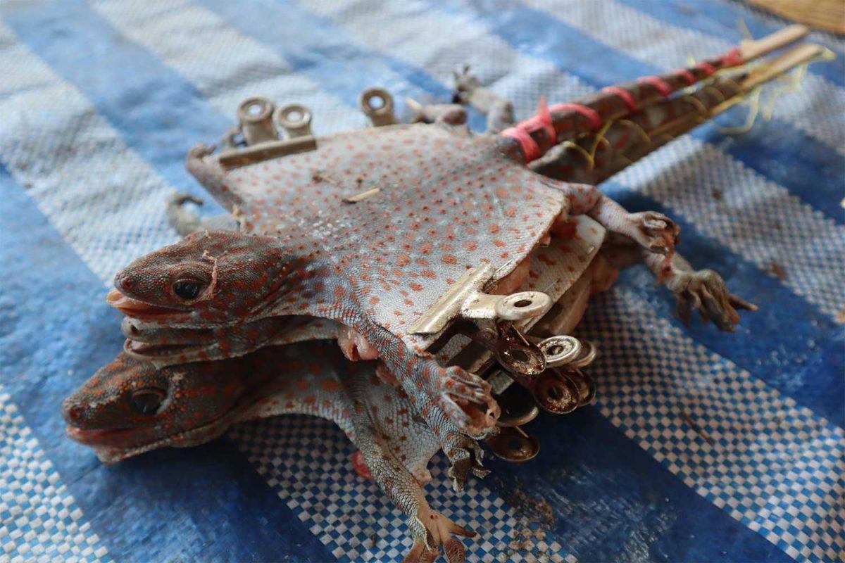 Gedroogde tokay-gekko's grote bron van inkomsten in Nakhon Phanom