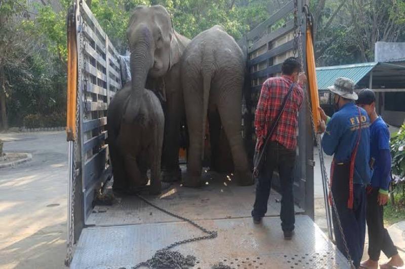 """Foeragerende olifanten in Chiang Mai vergiftigd door het landbouwvergif """"paraquat"""""""