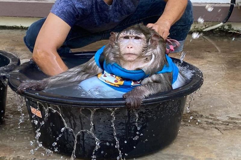 Enorm zwaarlijvige aap van een marktkoopman in Bangkok door de autoriteiten in beslag genomen.