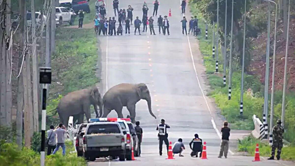 VIDEO   Meer dan 50 olifanten gefilmd bij het oversteken van een snelweg in de provincie Chachoengsao
