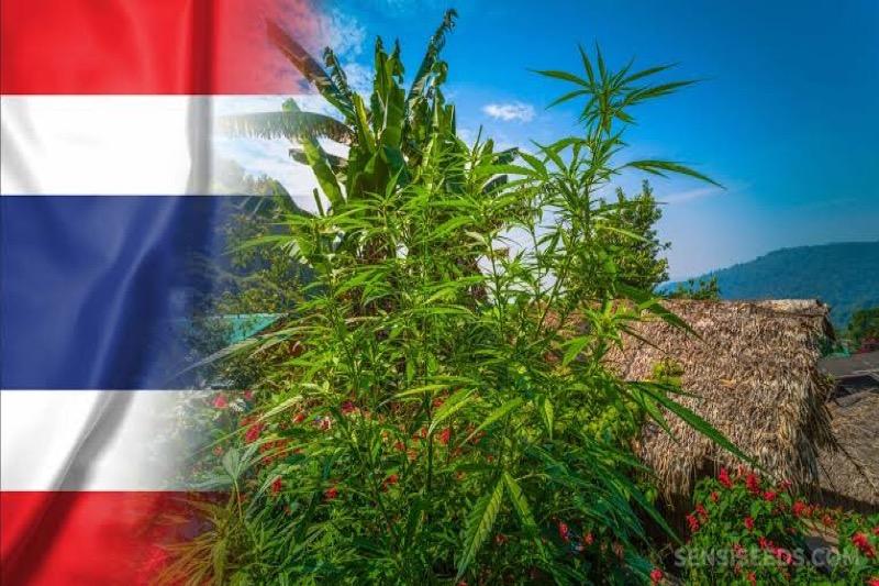 Thaise huishoudens mogen voortaan 6 wietplanten kweken