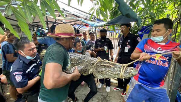 Drie meter lange krokodil gevangen in Samut Prakan