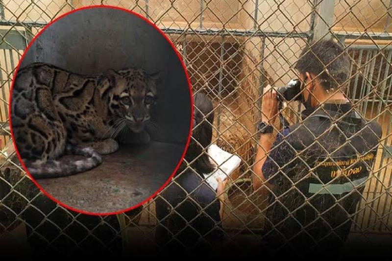 Thailand gebruikt DNA-tests in strijd tegen illegale tijgerhandel