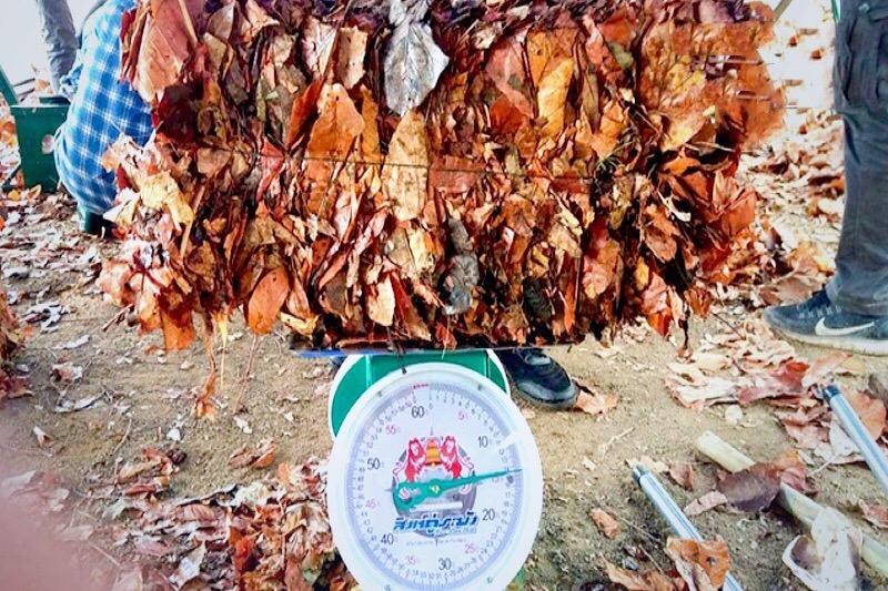 Chiang Mai koopt dode bladeren op om bosbranden te voorkomen.
