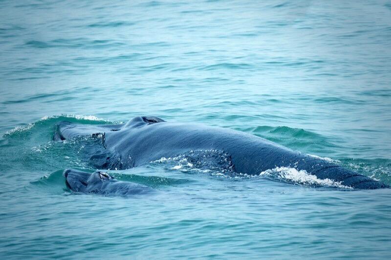 """De Thaise walvis """"Mae Thong Dee"""" is nu een trotse moeder van haar derde baby"""