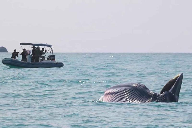 Meer Bryde's walvissen in het maritiem park bij Koh Samui gespot