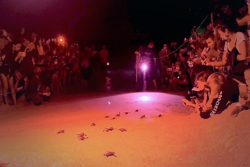 29 pasgeboren schildpadden vrijgelaten in de Andamanse Zee