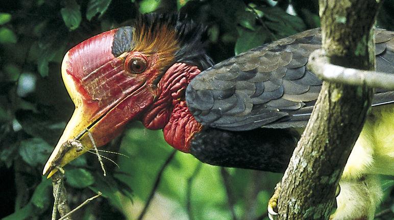 Helmneushoornvogel krijgt beschermde status