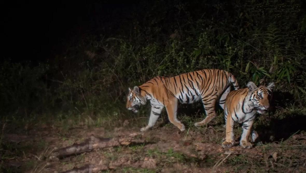 De dammen in de jungle van Khao Yai bedreigen de Indochinese tijgers, zo menen Thaise natuurbeschermer.