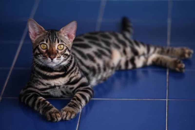 Bij een drugszaak in beslag genomen raskatten, vinden een nieuwe thuis bij een kattenfanaat