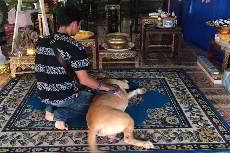 De pitbull woonde de begrafenis van zijn baasje in Pattaya bij