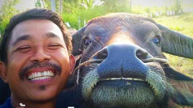 """""""Thong Kam"""" de beroemde Thaise lachende buffel is na diefstal teruggevonden"""