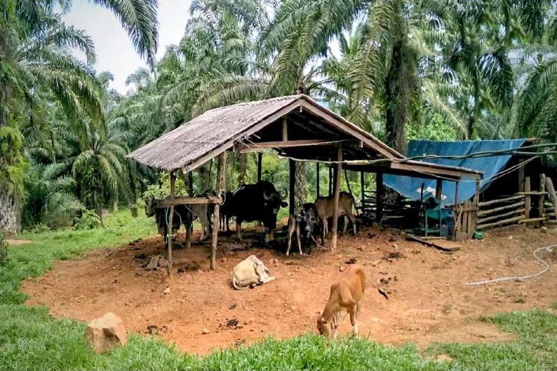 Verliefde wilde stier breekt voor de tweede keer in een maand het nationale park Khao Sok uit
