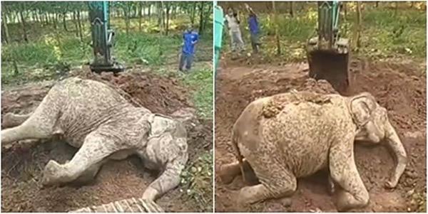 VIDEOCLIP | Gevallen olifant met hulp van de lokale bevolking weer op de been geholpen