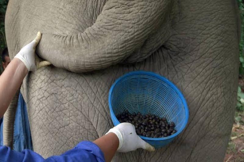 In Thailand schenkt een hotel koffie van olifantenkeutels!