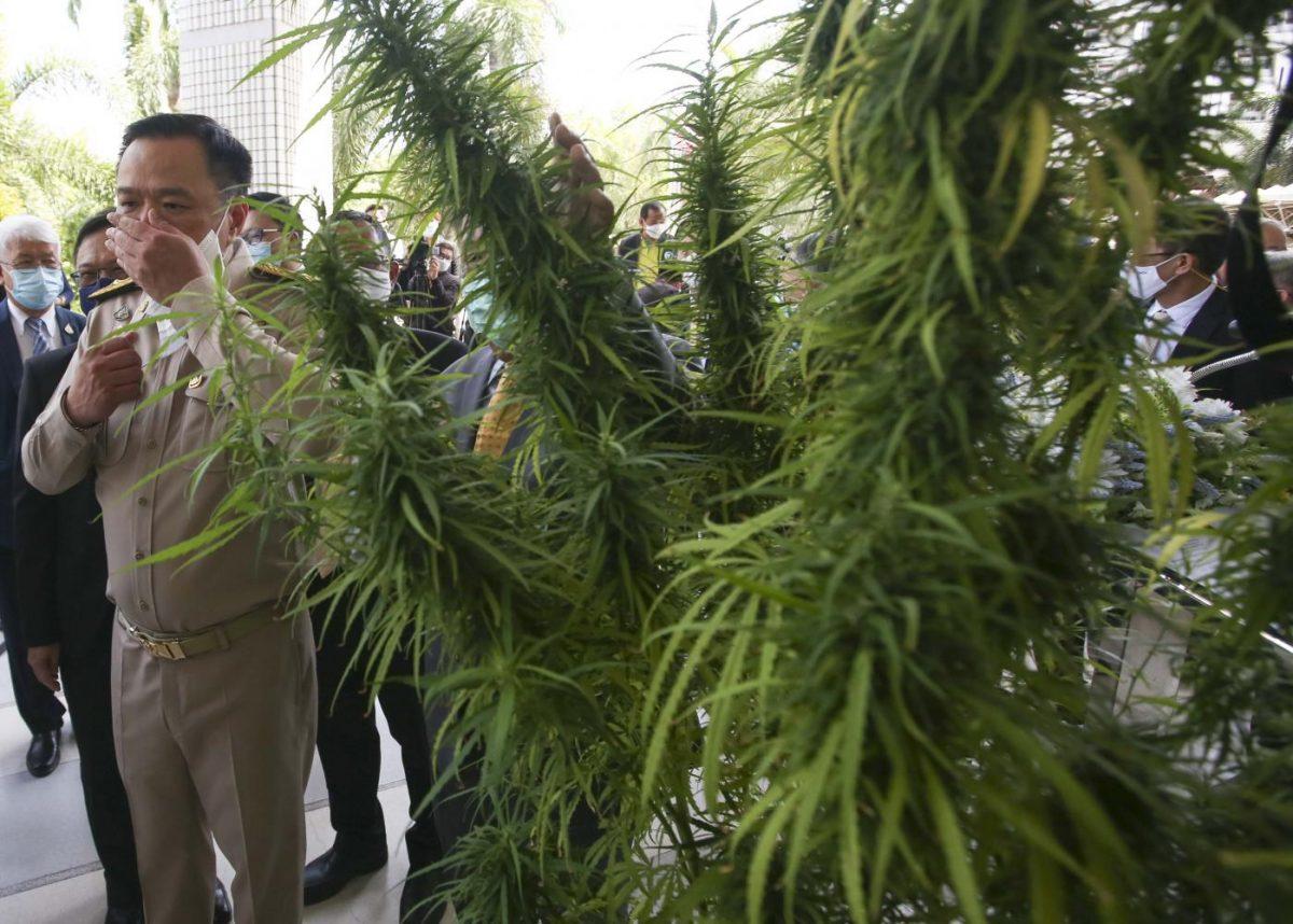 Thailand nomineert 4 cannabis soorten op om de nationale erfgoedlijst te plaatsen