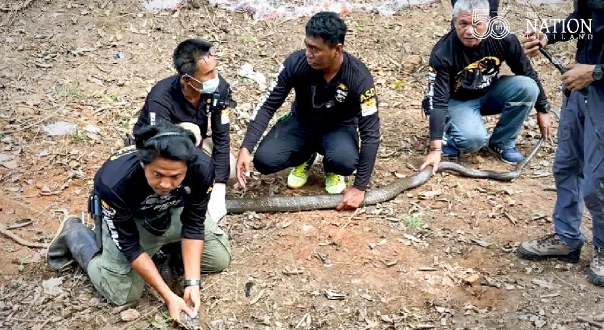 Slangenjagers vangen twee van de 20 cobra's die het dorp Trang terroriseerden