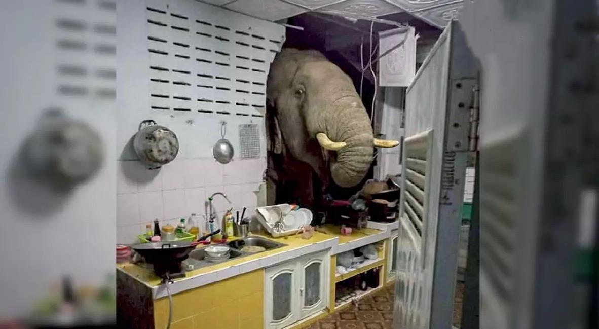 VIDEOCLIP   Wilde olifant baant zich een weg door een muur van een huis in Hua Hin op zoek naar eten