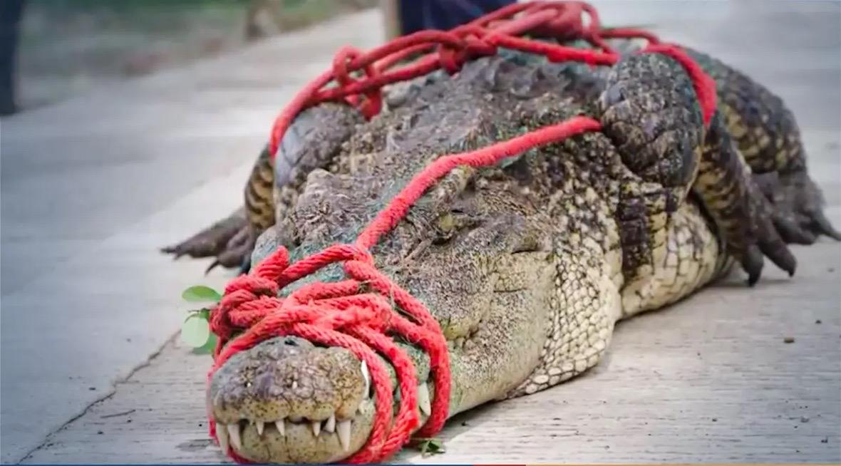 VIDEOCLIP   Woeste krokodil in Nakhon Sawan de bek gesnoerd
