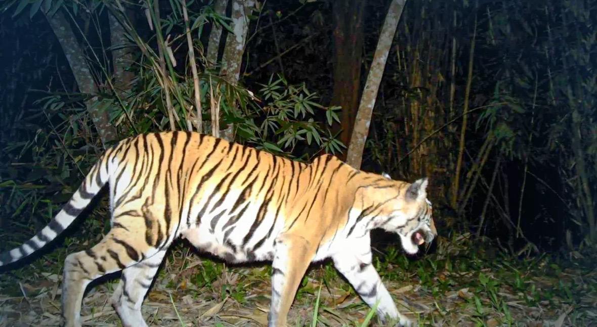 Cameravallen bewijzen dat nationale parken in het westen van Thailand zich uitstekend ontwikkelen