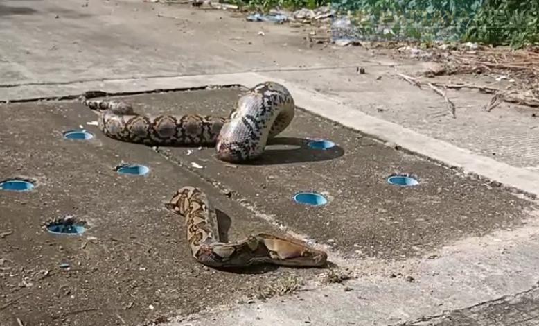 Enorme python wringt zich in Sri Racha in allerlei bochten en komt in de afvoer vast te zitten