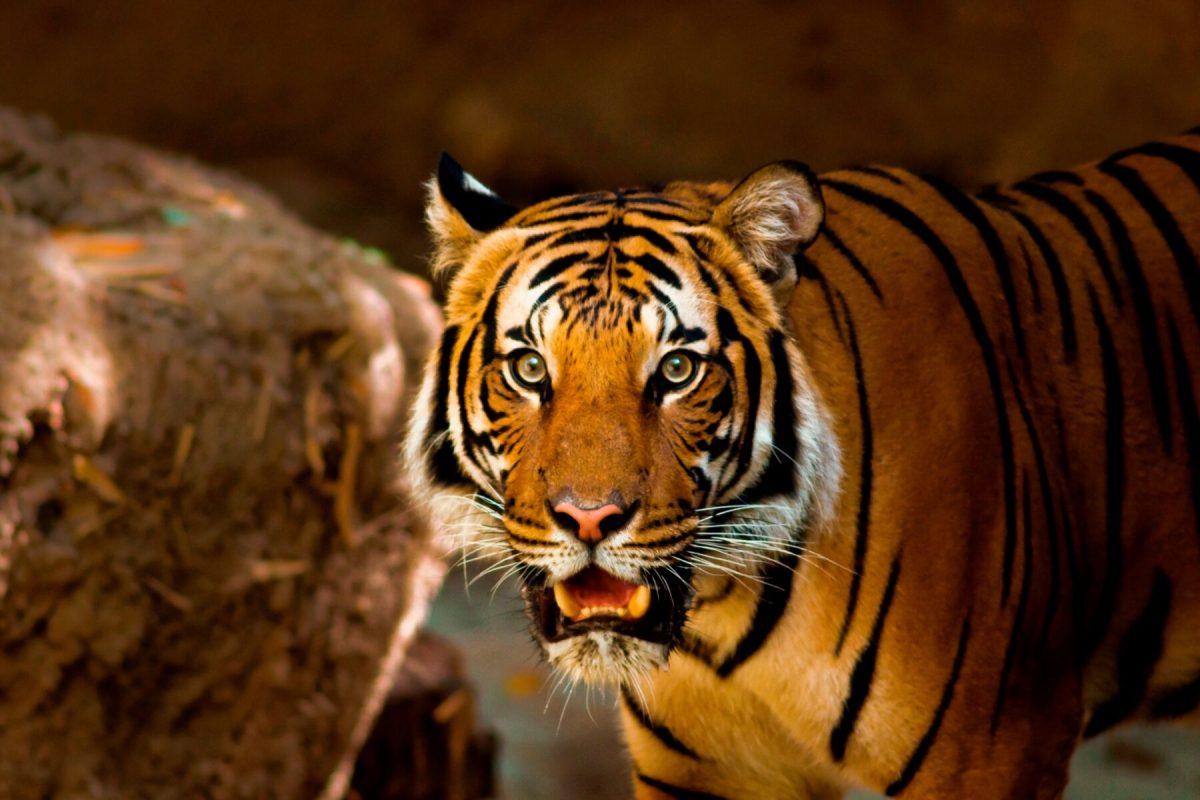 Het  natuurbehoud van Thailand voegt dit jaar 17 zeldzame Indochinese tijgers toe