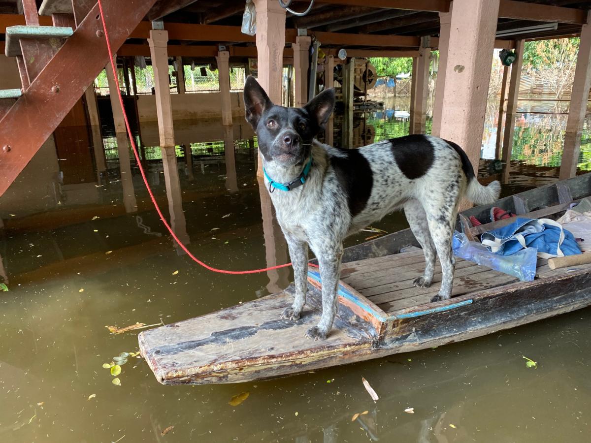 De Soi Dog Foundation biedt voedselhulp aan dieren in het door overstromingen getroffen Ayutthaya en Sing Buri