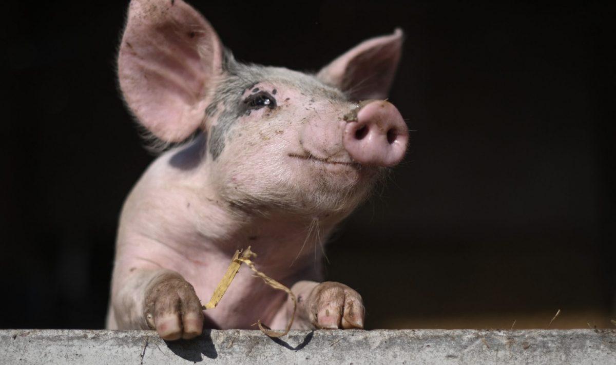 De varkensvlees-productie in Thailand is naast de gevolgen van het Covid19 virus ook zwaar getroffen door overstromingen